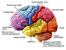 HUMAIN BRAIN: THE MOST POWERFULL LANGUAGECOMPUTER